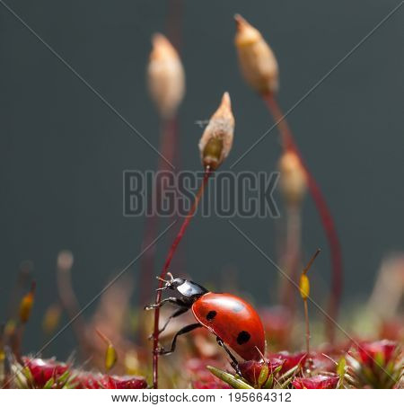 Beetle Going To Climb On Moss Seta