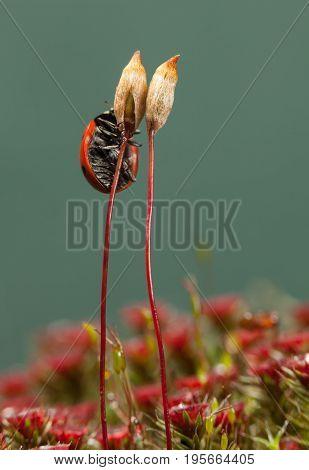 Beetle On Haircap Moss Seta