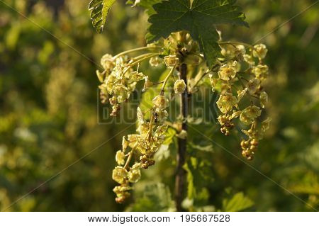 Redcurrant blossom in the spring gardenю Background