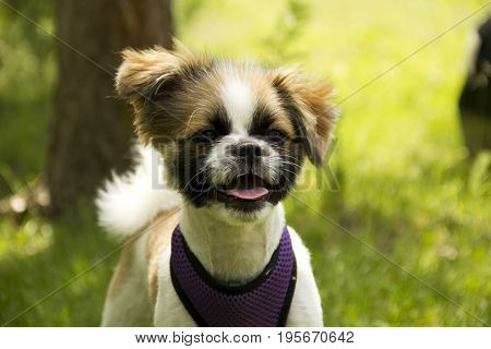 Spotted white-brown little puppy with open jaws on nature close-up
