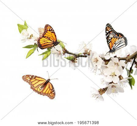 Flowers of cherry and monarch butterflies (Danaus plexippus, Nymphalidae). Isolated on white background