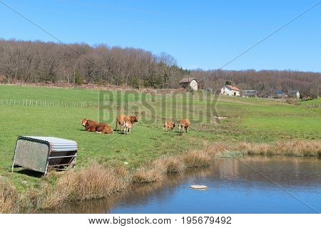 Cattle Limousin cows in green French winter landscape