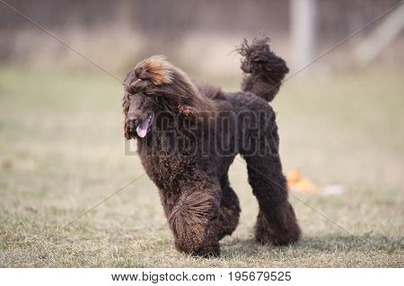 Proud dog walking outdoors. Smiling brown Poodle