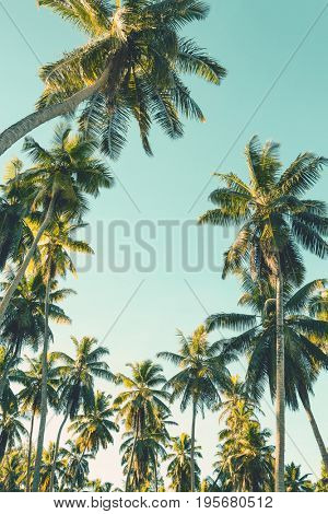 Coconut palm tree on sky background.    Toned image