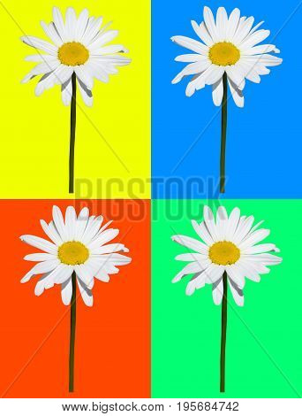 Art composition, daisy isolated in four colored background. Framework of four colored rectangles. Spring concept.