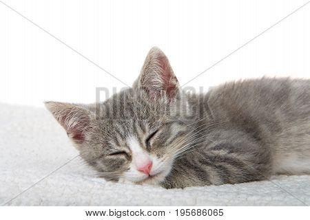 Close up of Gray and white kitten sleeping on sheepskin blanket eyes closed. white background