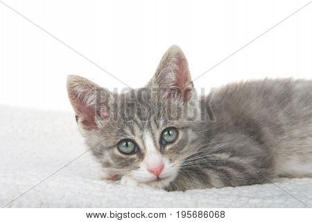 Close up gray and white kitten laying on sheepskin blanket head on paws looking directly at viewer. White background