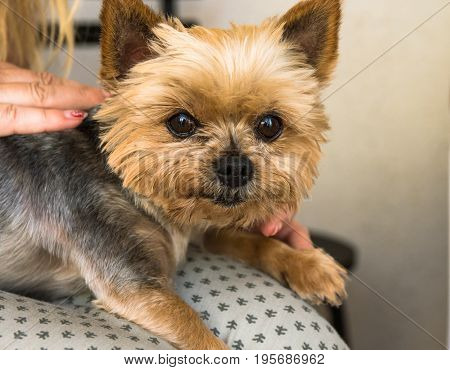 Yorkshire terrier sitting on woman's lap cute face sweet expression eyes looking in camera close up
