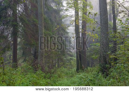 Misty autumnal morning and natural alder stand, Bialowieza Forest, Poland, Europe