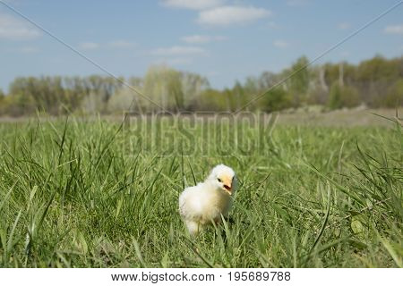 Yellow charming chicken on a green meadow with an open beak