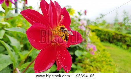 Red cosmea flower with a bee on it in rainy seasonBee on Cosmea flower isolated.Bee working on cosmos flower.