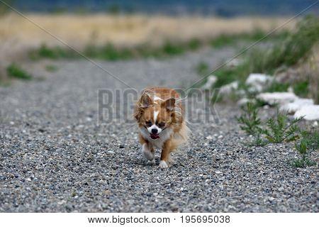 a Chihuahua dog runs down a trail