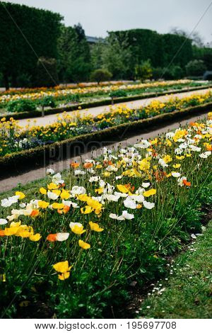 Yellow and orange poppies in bloom in French botanical garden, Paris