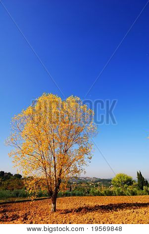 Brilliant yellow tree in the autumn in Europe on a recently plowed field