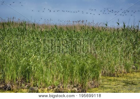 reed plants in water. Water Plants. View on Reeds at the Lake.