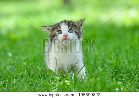 Curious little kitten play in the grass. Little kitty play outside