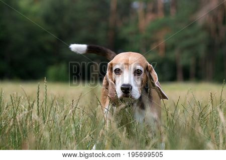 Beagle stands in tall grass. Portrait of a dog.