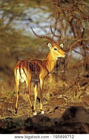 Impala Antelope standing by trees in savannah, looking back, portrait alert