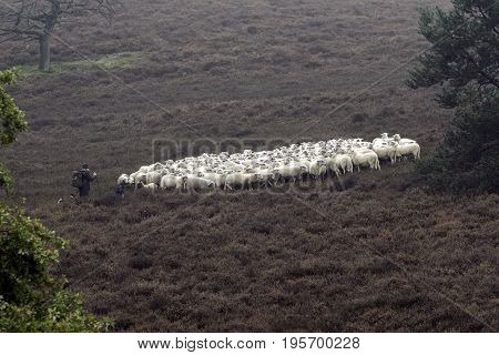 Sheepherder at work with her dogs and sheep