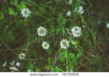 Clover flowers in green grass. Toned. White clover