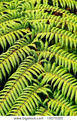 Close-up of native green fern in rainforest