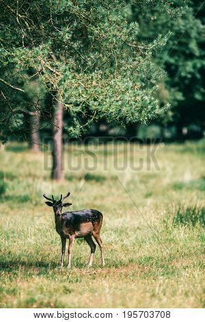 Young Fallow Deer With Velvet Antlers In Forest Meadow.