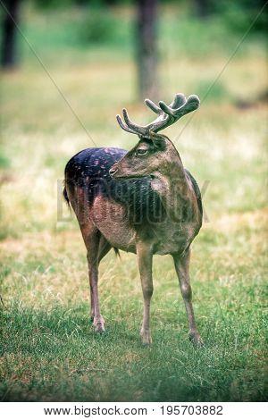 Fallow Deer Buck With Velvet Antlers Standing In Field.