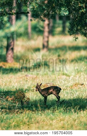 Fallow Deer Fawn Standing In Shadow Under Tree.