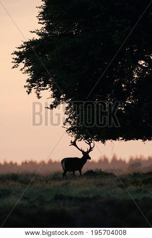 Silhouette Of Red Deer Stag At Sunset Under Tree.
