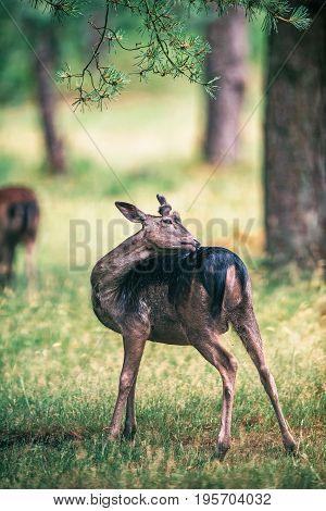 Young Fallow Deer Buck Washing His Back.