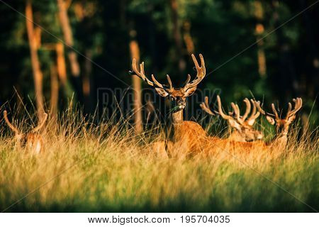 Red Deer Stag With Grass In Mouth Lit By Evening Sun.