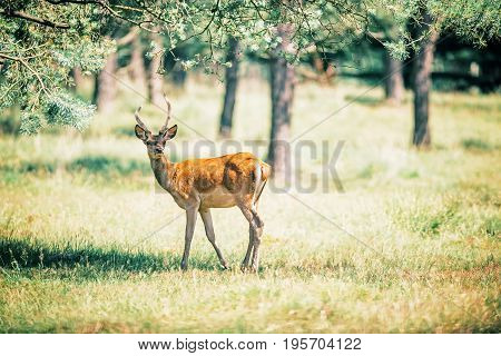 Young Red Deer With Antlers Under Tree.