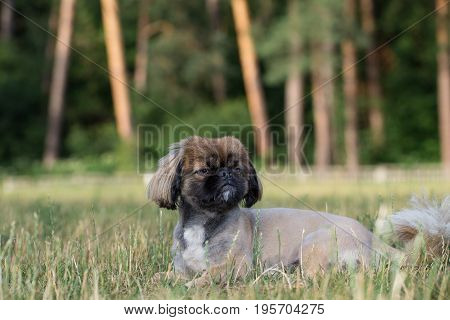 Pekingese is lying on the lawn. The dog was tonsured at the dog's salon.