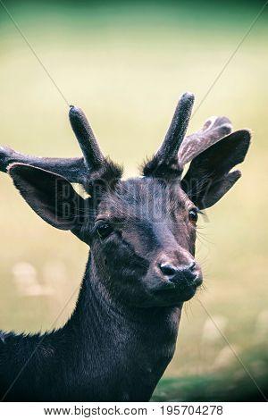 Headshot Of Young Fallow Deer Buck With Velvet Pedicles.