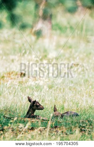 Two Dark Fallow Deer Fawns In Grass.