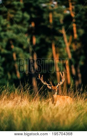 Red Deer Stag With Antlers In Velvet In Tall Grass Lit By Evening Sunlight.