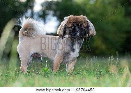 Pekingese is standing in the field. The dog was tonsured at the dog's salon.