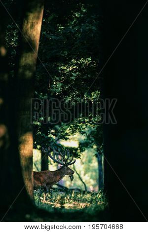 Red Deer Male Or Stag With Branch In Mouth In Forest.