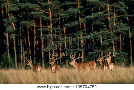 Herd Of Red Deer Stag With Antlers In Velvet In Tall Grass. Lit By Evening Sun.