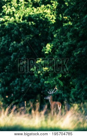 Red Deer Stag With Antlers In Velvet At Edge Of Forest.