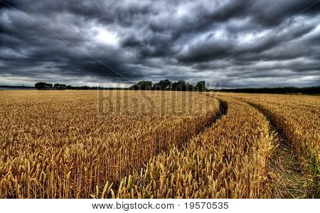 HDR image of golden wheatfield with dramatic sky background