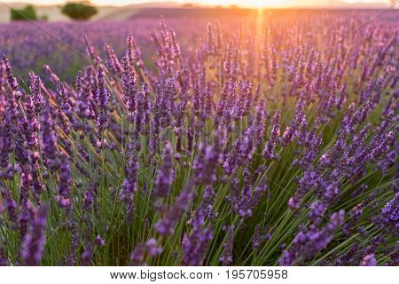 Beautiful lavender fields at sunset time. Valensole. Provence, France