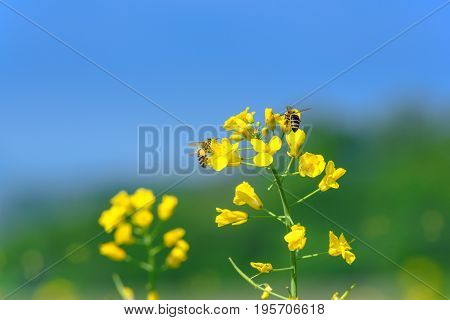 Bees collecting nectar on blooming yellow flowers of rape