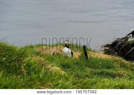 Puffins breed in large colonies on coastal cliffs or offshore islands