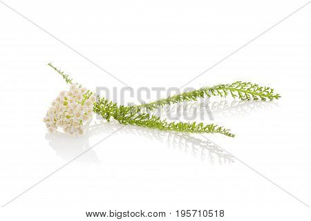 Yarrow blossom and leaf isolated on white background. Natural remedy medicinical plant.