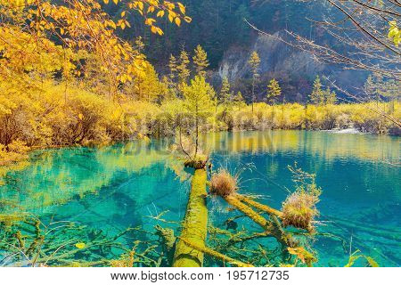 Trees by the colorful lake at autumn day time. Jiuzhaigou nature reserve Jiuzhai Valley National Park China.