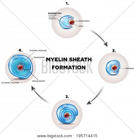 Myelin Sheath Formation