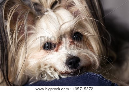 Chinese Crested Dog Portrait. Small Cute Dog In A Room