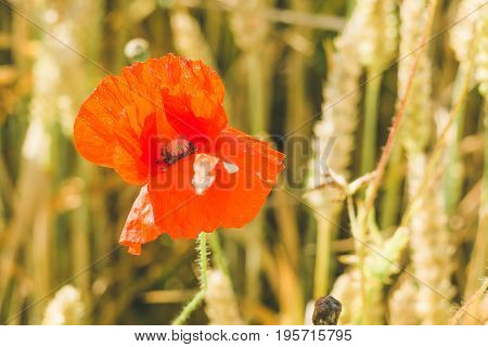Flower of red poppy on the ripe wheat field. Golden colors.