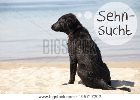 Speech Balloon With German Text Sehnsucht Means Desire. Flat Coated Retriever Dog At Sandy Beach. Ocean And Water In The Background